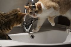 Adorable cat drinking from a faucet royalty free stock photography