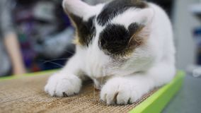 Funny cat enjoys his new claw grinding toy. Cat rolls on paper board stock footage