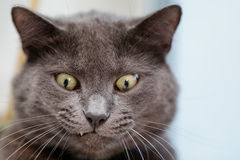 Funny cat face Royalty Free Stock Photography