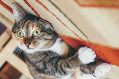 Funny Cat Royalty Free Stock Images