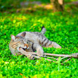 Funny cat gnaws branch on green grass Stock Photo