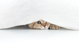 Funny cat hidden under small white curtain isolated. On white stock photos