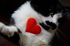 Funny cat holding a heart and congratulates on Valentine`s Day. Love and relationship royalty free stock photos