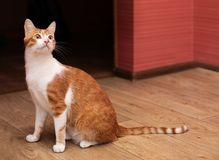 Funny cat at home royalty free stock photo