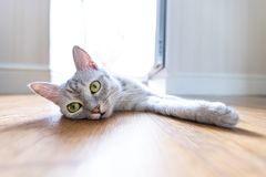 Funny cat at home. Funny gray cat at home stock image