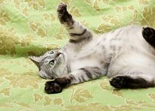 Funny cat, humorous photo of playing cat Stock Photos