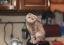 Funny cat in the kitchen. Scottish fold Royalty Free Stock Photography