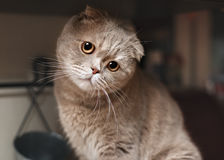 Funny cat in the kitchen. Scottish fold Stock Photos