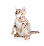 Funny cat kitten standing on hind legs Royalty Free Stock Photography