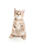 Funny cat kitten standing on hind legs Royalty Free Stock Image