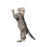 Funny cat kitten standing on hind legs Stock Image