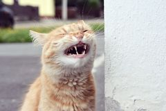Funny cat laughs Stock Photo