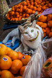 Funny cat lay in oranges Royalty Free Stock Photography