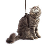 Funny cat on a leash, isolated on white background Royalty Free Stock Image