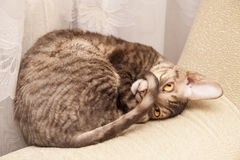 Funny cat lies Royalty Free Stock Images