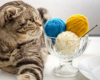 Funny cat look and wants to play with a ball of wool yarn, which lie like dessert. Funny scottish fold cat look and wants to play with a balls of wool yarn Stock Photography