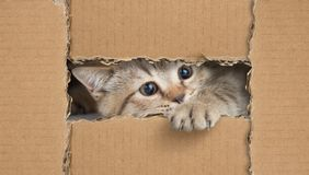 Funny cat looking through cardboard hole stock images