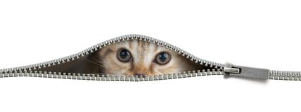 Funny cat in open zipper hole isolated stock photography