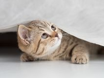 Funny cat looking up from under curtain. Funny cat looking up from under white curtain Stock Image