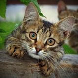 Funny cat. The cat looks into the lens gripping claws in the Board Stock Photo