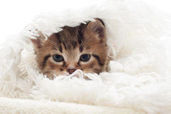 Funny cat muzzle. In a white fluffy blanket Royalty Free Stock Photo