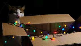 Funny cat nibbles a cardboard box with a colored garland stock footage