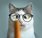 Funny cat at ophtalmologist appointmet. Funny cat in myopia sight correction glasses at ophtalmologist appointmet squinting following sausage stock images