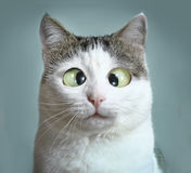 Funny cat at ophtalmologist appointmet. Squinting close up portrait stock photography