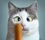 Funny cat at ophtalmologist appointmet. Squinting following sausage royalty free stock photos