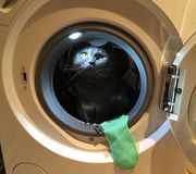 Funny cat peeking out of the washing machine. Cute look amber eyes, long whiskers, green pulls a sock on the Laundry, doing it and got caught Stock Photos