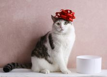 Funny cat photo with gift box with red bow on head. As a hat royalty free stock photos