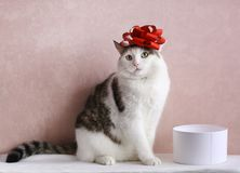 Funny cat photo sleeping in gift box with red bow on head. As a hat stock photos