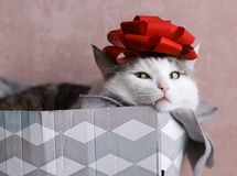 Funny cat photo sleeping in gift box with red bow on head. As a hat royalty free stock images