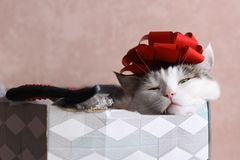 Funny cat photo sleeping in gift box with red bow on head. As a hat stock photography