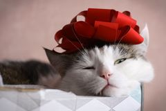 Funny cat photo sleeping in gift box with red bow on head royalty free stock photos