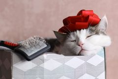 Funny cat photo sleeping in gift box with red bow on head. Funny cat photo sleeping in gift box with brush and red bow on head as a hat stock photography