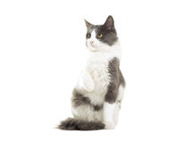 Funny cat picked up a paw. On white background isolated royalty free stock images