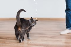 Funny cat playing with garland. Russian blue cat with Christmas lights, selective focus. Royalty Free Stock Photography