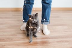 Funny cat playing with garland. Russian blue cat with Christmas lights, selective focus. Stock Photos