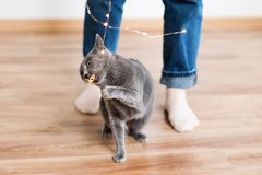 Funny cat playing with garland. Russian blue cat with Christmas lights, selective focus. Stock Photo