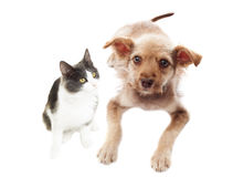 Funny cat and puppy together Royalty Free Stock Photo