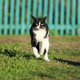 Funny cat quickly runs along the path among the grass in the sum. Mer garden raised high legs Stock Photo