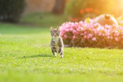 Funny cat quickly runs along the path among the grass in the summer garden raised high legs Stock Photos
