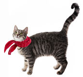 Funny cat with red scarf Stock Photo