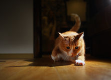 Funny cat redhead plays Stock Photos