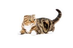 Funny cat Scottish Fold Stock Photo