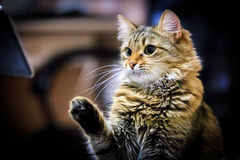 Funny cat. Seriuos portrait of funny cat royalty free stock photography