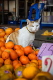 Funny cat sit in oranges Royalty Free Stock Photography