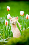 Funny cat sitting in the tulips field. Funny cat outside in the tulips field Royalty Free Stock Photos