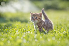 Funny cat standing in green grass. Outdoor Stock Images